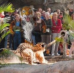 HTEA Tiger at Florida Zoo